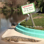 Experience Kissimmee:  5 Reasons You Must Check Out Gatorland! #Rockyourvacation