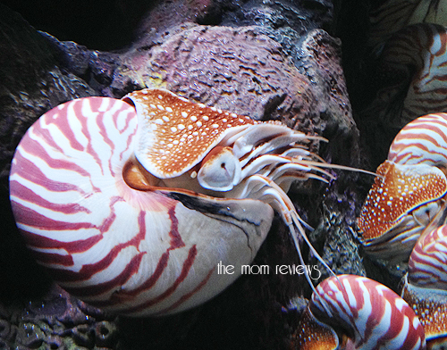 chambered nautilus, New Exhibit at the Monterey Bay Aquarium #Tentacles #Monterey #MontereyBayAquarium Cephalopods
