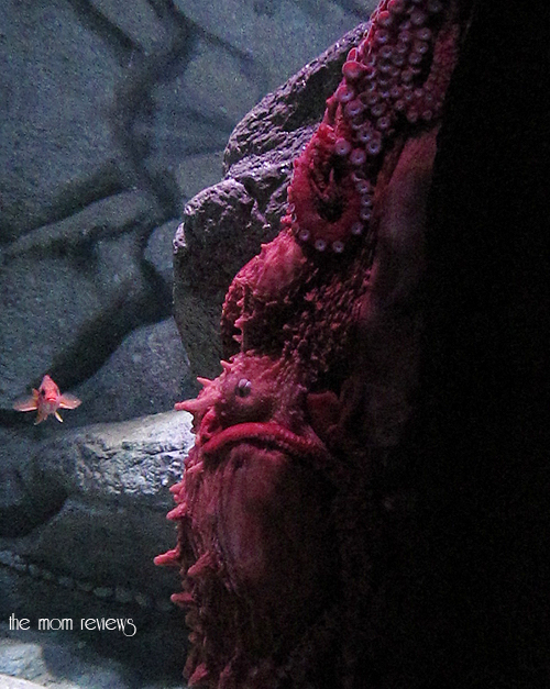 giant pacific octopus, New Exhibit at the Monterey Bay Aquarium #Tentacles #Monterey #MontereyBayAquarium Cephalopods