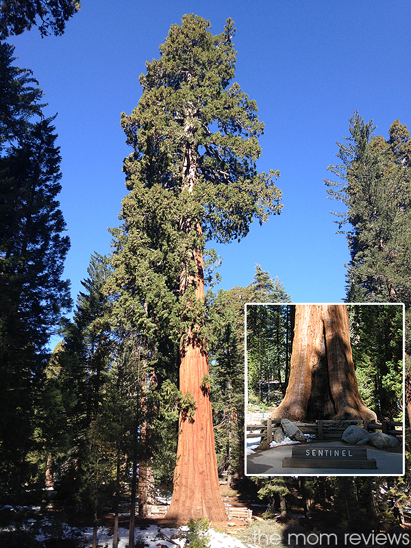 4 Must See Sights to Visit in Sequoia National Park, Sentinel Tree